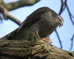 Переплятник птица коморских островов
